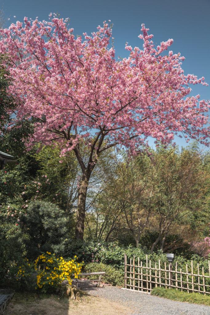DSC_4810-683x1024 京都 - 高台寺 ( 京都 春 桜 写真スポット)