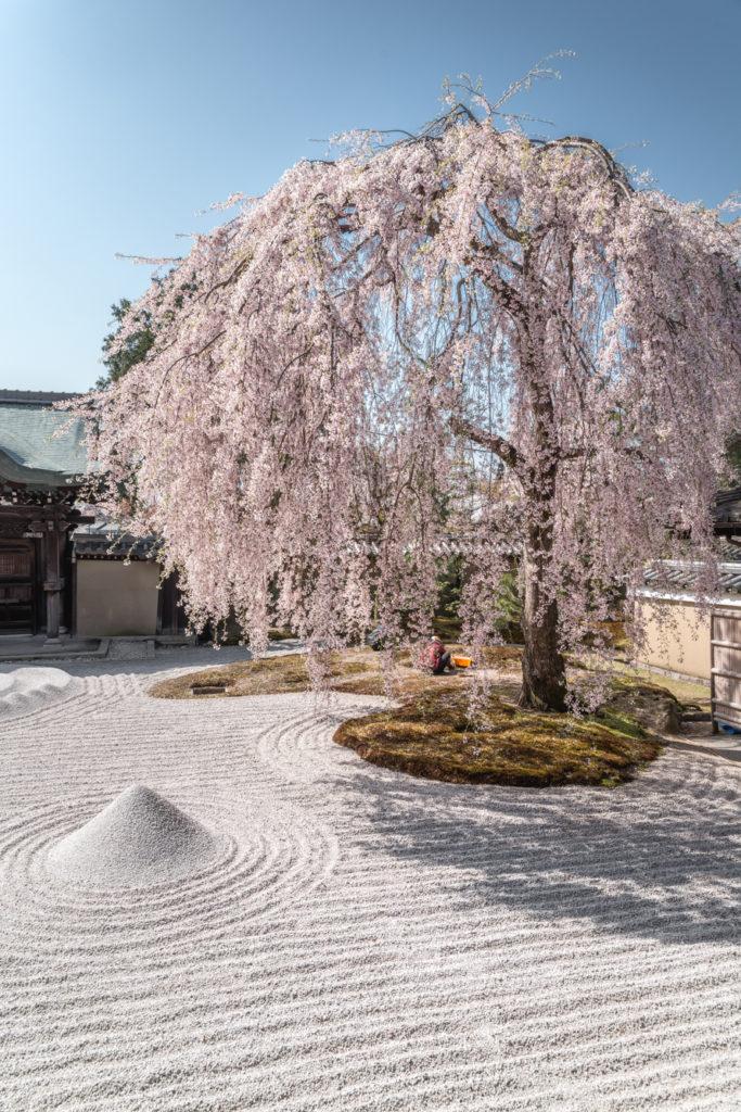 DSC_4851-683x1024 京都 - 高台寺 ( 京都 春 桜 写真スポット)