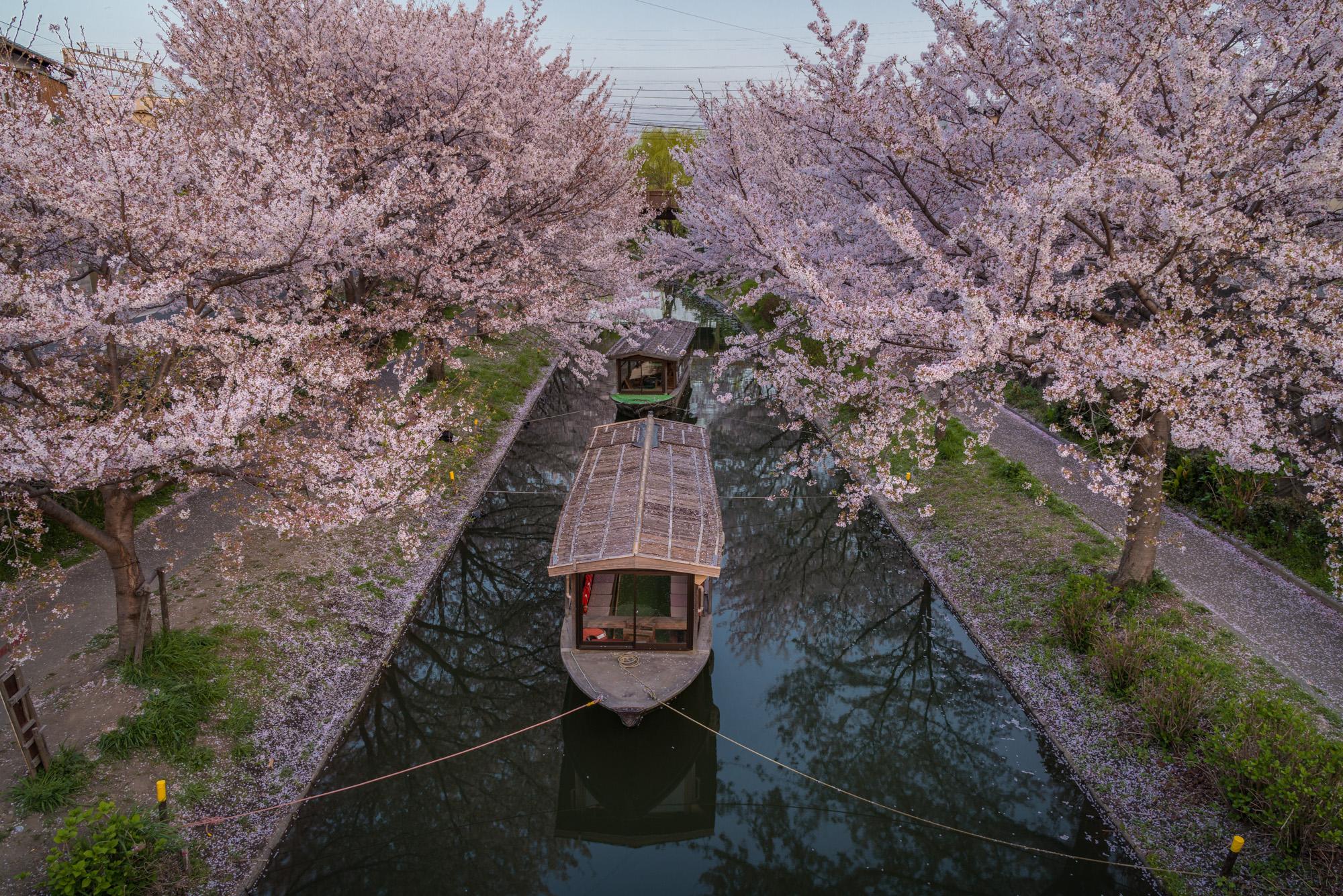 DSC_5580 京都府 中書島 伏見十石舟(桜と船の風情を感じる美しい景色!京都の春におすすめ桜写真スポット! 撮影した写真の紹介、アクセス情報など)