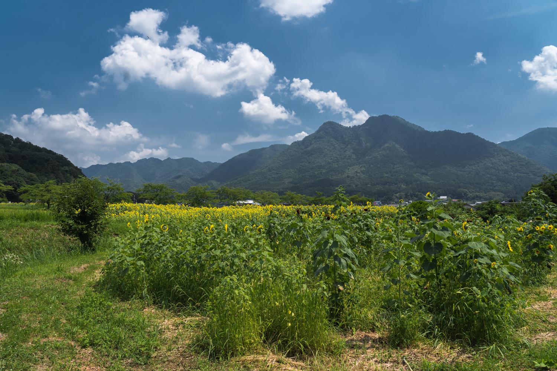 DSC00074 兵庫県 丹波市ひまわり柚遊農園( 約40万本のひまわりが咲き誇るおすすめの写真スポット!撮影した写真の紹介、アクセス情報や撮影ポイントなど!)