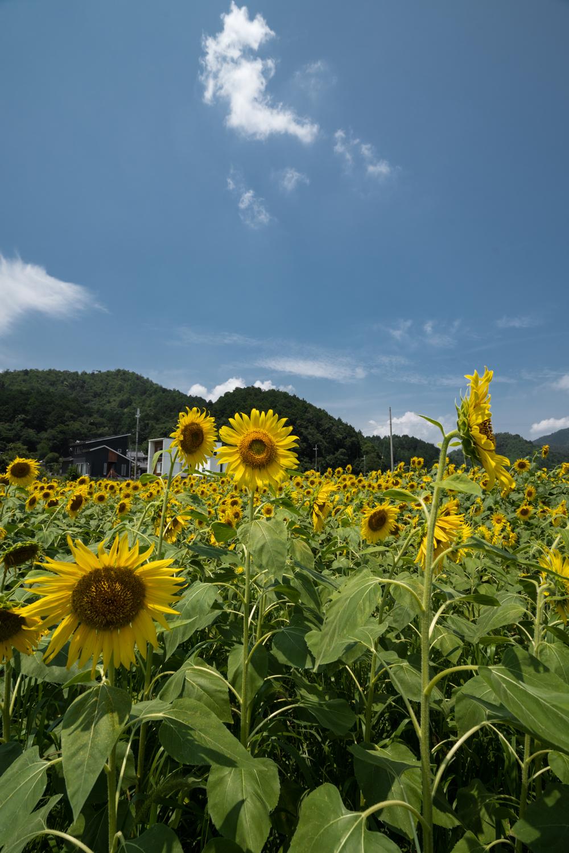 DSC09885 兵庫県 丹波市ひまわり柚遊農園( 約40万本のひまわりが咲き誇るおすすめの写真スポット!撮影した写真の紹介、アクセス情報や撮影ポイントなど!)