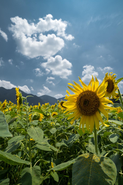 DSC09947 兵庫県 丹波市ひまわり柚遊農園( 約40万本のひまわりが咲き誇るおすすめの写真スポット!撮影した写真の紹介、アクセス情報や撮影ポイントなど!)