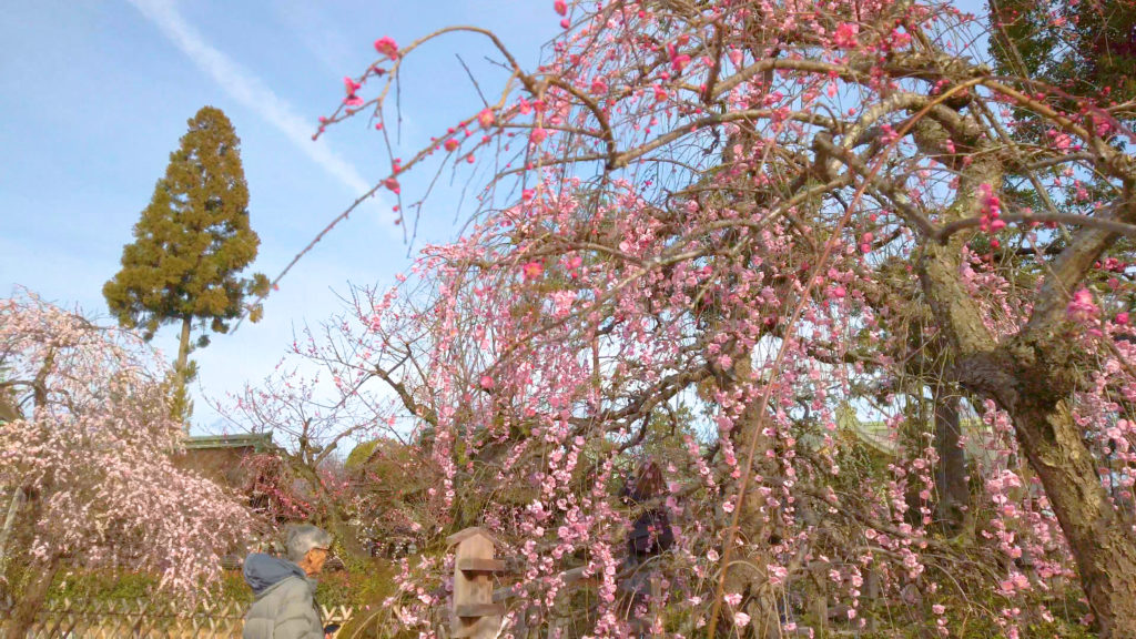 36aaa9a8b784e75e94011240c7ab859f-1024x576 京都府 北野天満宮 Kitano Tenmangu (2020年 京都の春におすすめ梅苑・梅林スポット! 撮影した写真の紹介、ライトアップ・アクセス情報や交通手段・駐車場情報などまとめ)