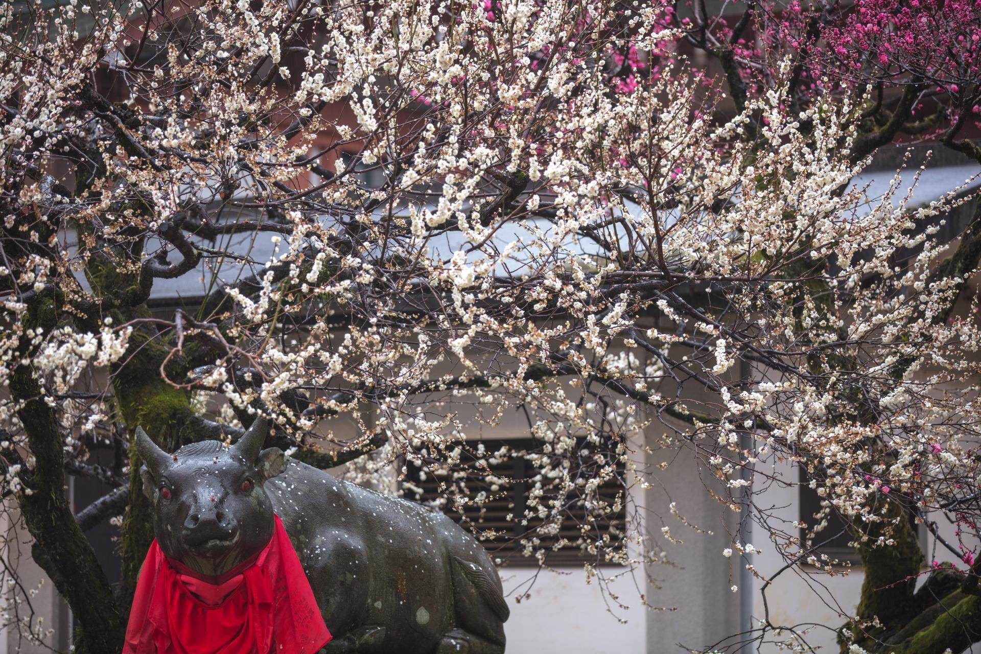 3898484_m 京都府 北野天満宮(京都の春におすすめ梅苑・梅林スポット! 撮影した写真の紹介、アクセス情報や交通手段・駐車場情報など)