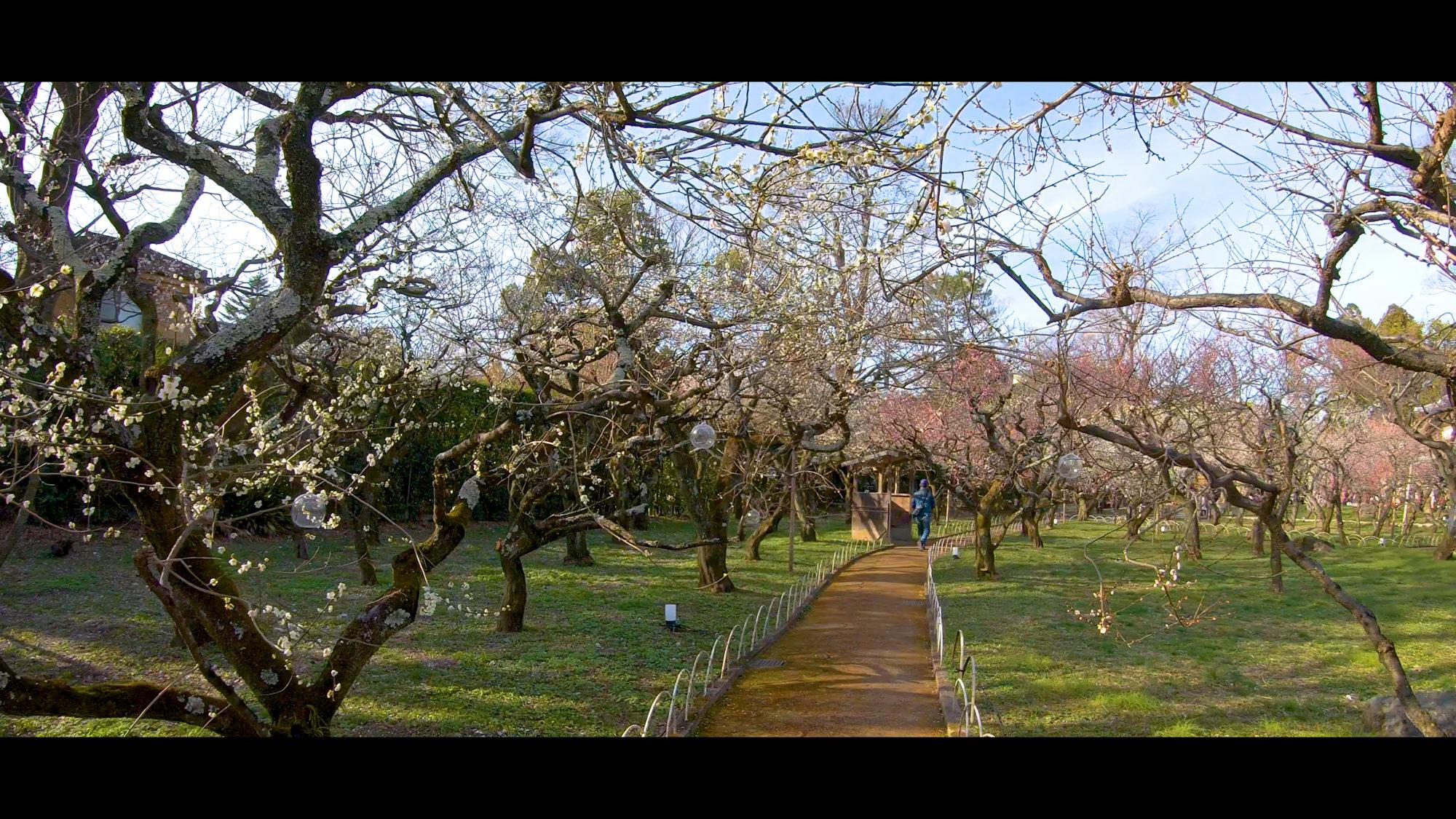 9ce0143b73f5a100ffb0b25f3b961402-e1582382900978 京都府 北野天満宮 Kitano Tenmangu (2020年 京都の春におすすめ梅苑・梅林スポット! 撮影した写真の紹介、ライトアップ・アクセス情報や交通手段・駐車場情報などまとめ)