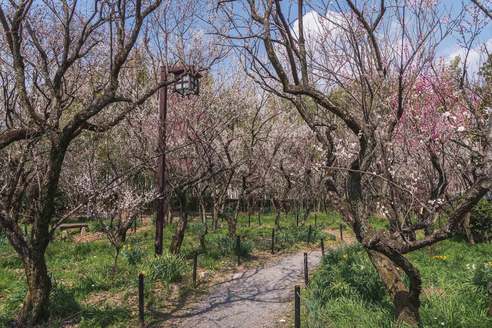 DSC_2154 京都 梅宮大社(境内に咲く35種500本の梅と猫神社で人気の写真スポット。 アクセス情報や交通手段・駐車場情報などまとめ)