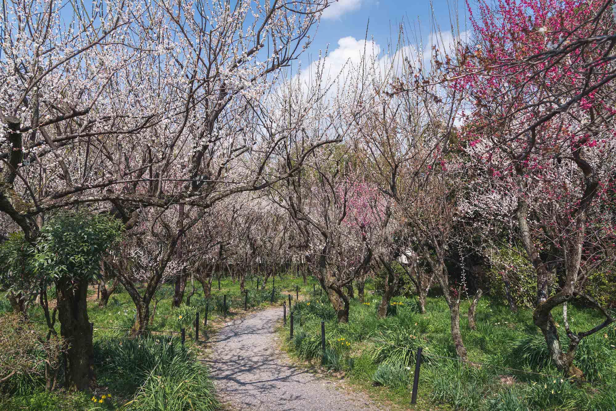 DSC_2158 京都 梅宮大社(境内に咲く35種500本の梅と猫神社で人気の写真スポット。 アクセス情報や交通手段・駐車場情報などまとめ)