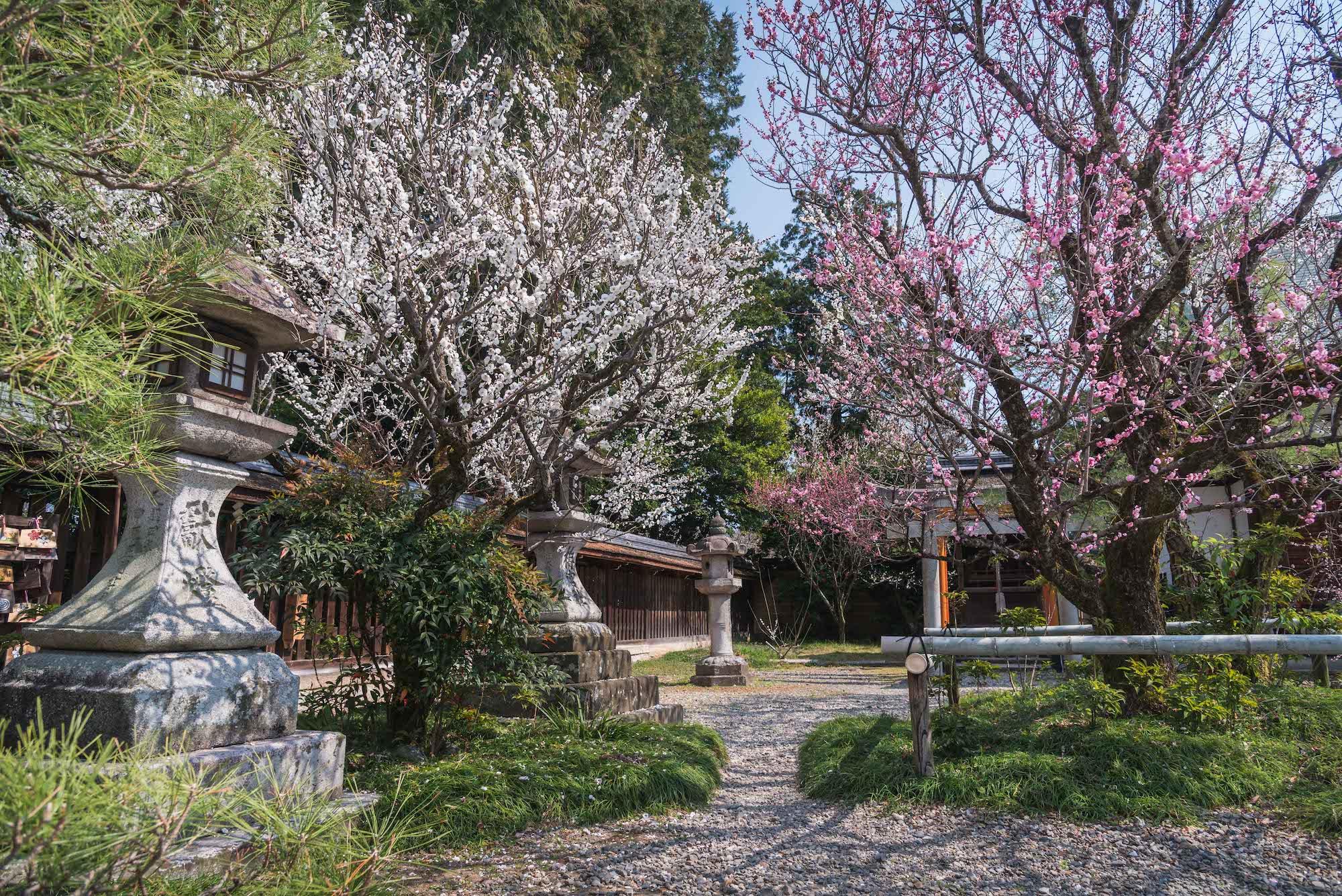 DSC_2189 京都 梅宮大社(境内に咲く35種500本の梅と猫神社で人気の写真スポット。 アクセス情報や交通手段・駐車場情報などまとめ)