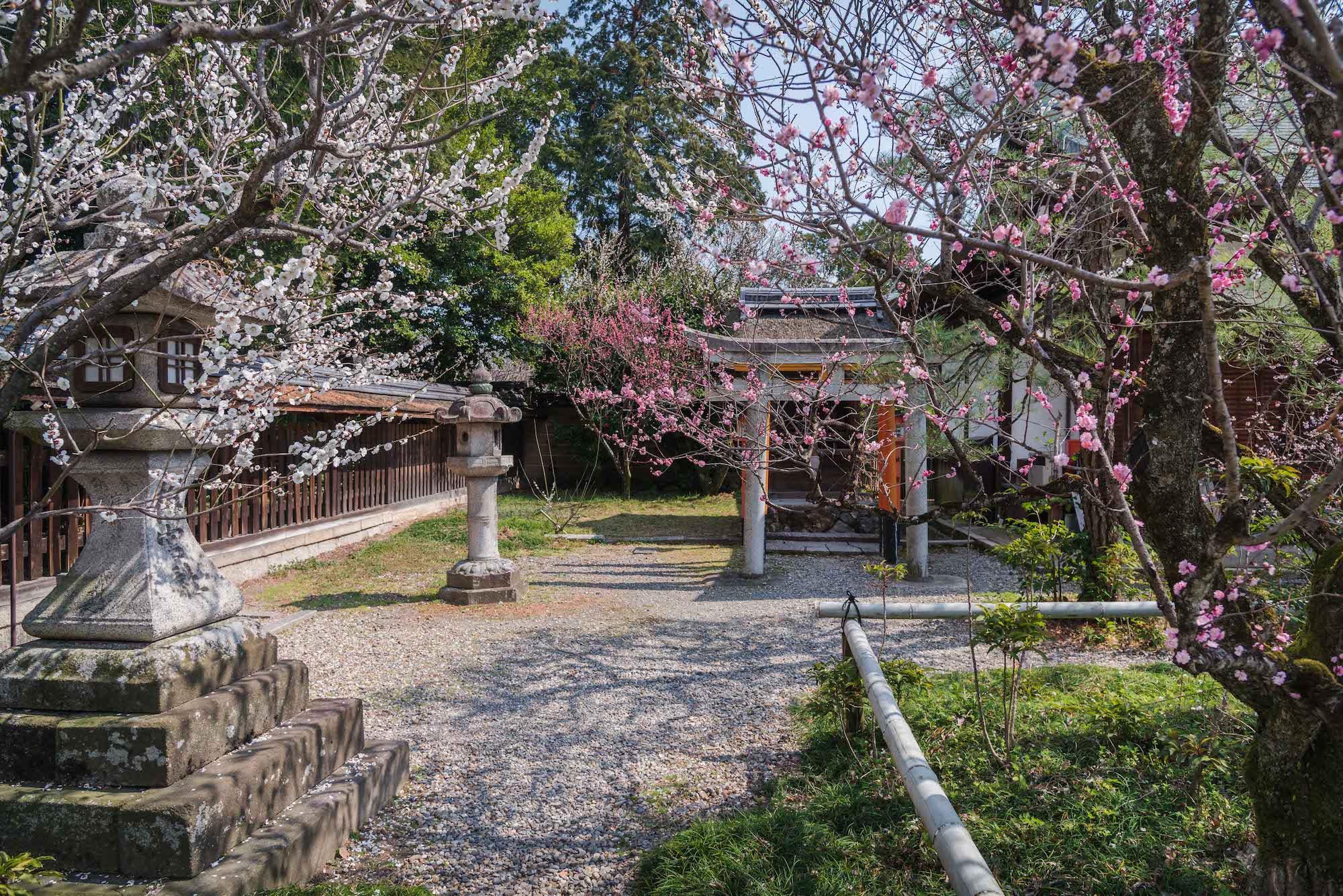 DSC_2193 京都 梅宮大社(境内に咲く35種500本の梅と猫神社で人気の写真スポット。 アクセス情報や交通手段・駐車場情報などまとめ)