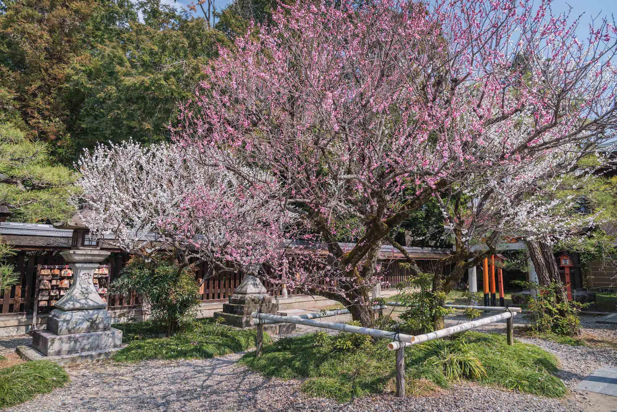 DSC_2200 京都 梅宮大社(境内に咲く35種500本の梅と猫神社で人気の写真スポット。 アクセス情報や交通手段・駐車場情報などまとめ)