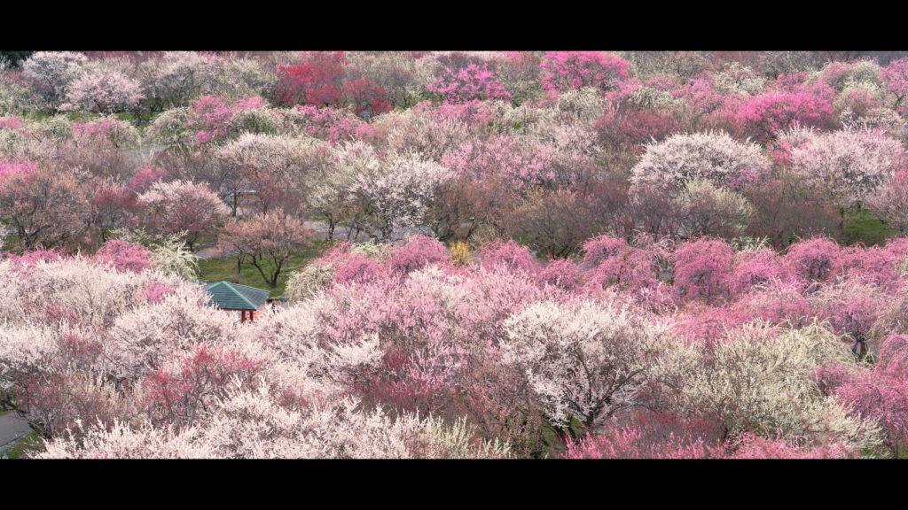 """07fe12bb2013fd1e6ca26f66f142d2e3-1024x576 【2020年】関西の『梅林・梅園』おすすめ写真スポット""""9選""""を紹介! 開花情報や見頃情報などを実際に訪れ撮影した写真とお届けします!"""
