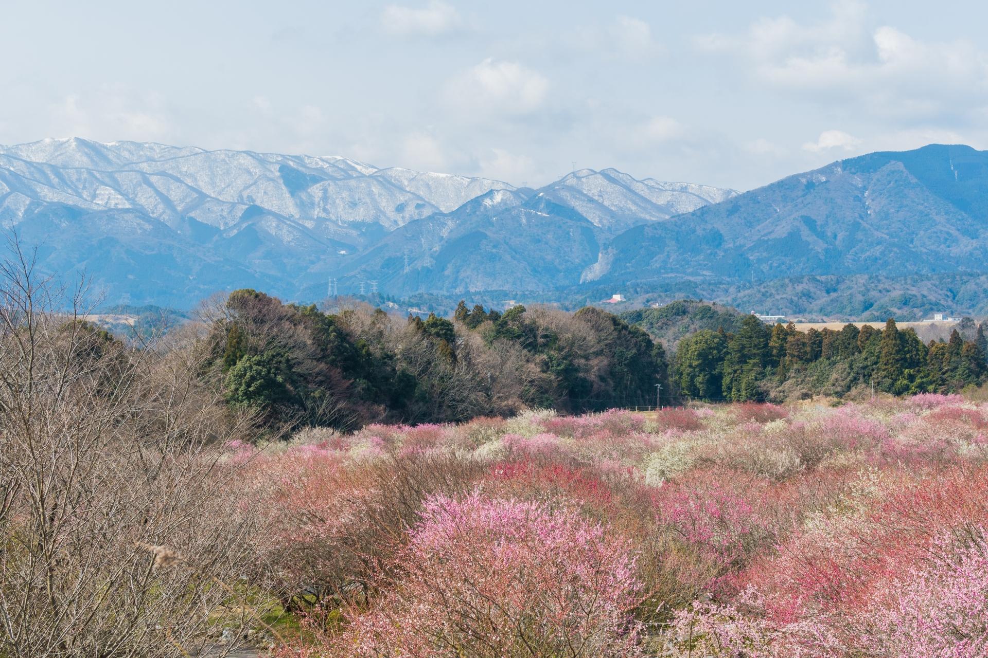 1482738_m 三重県 いなべ市農業公園 梅林園(まるで桃源郷のような景色が見れる絶景の梅林写真スポット。 写真の紹介、アクセス情報や交通手段・駐車場情報などまとめ)