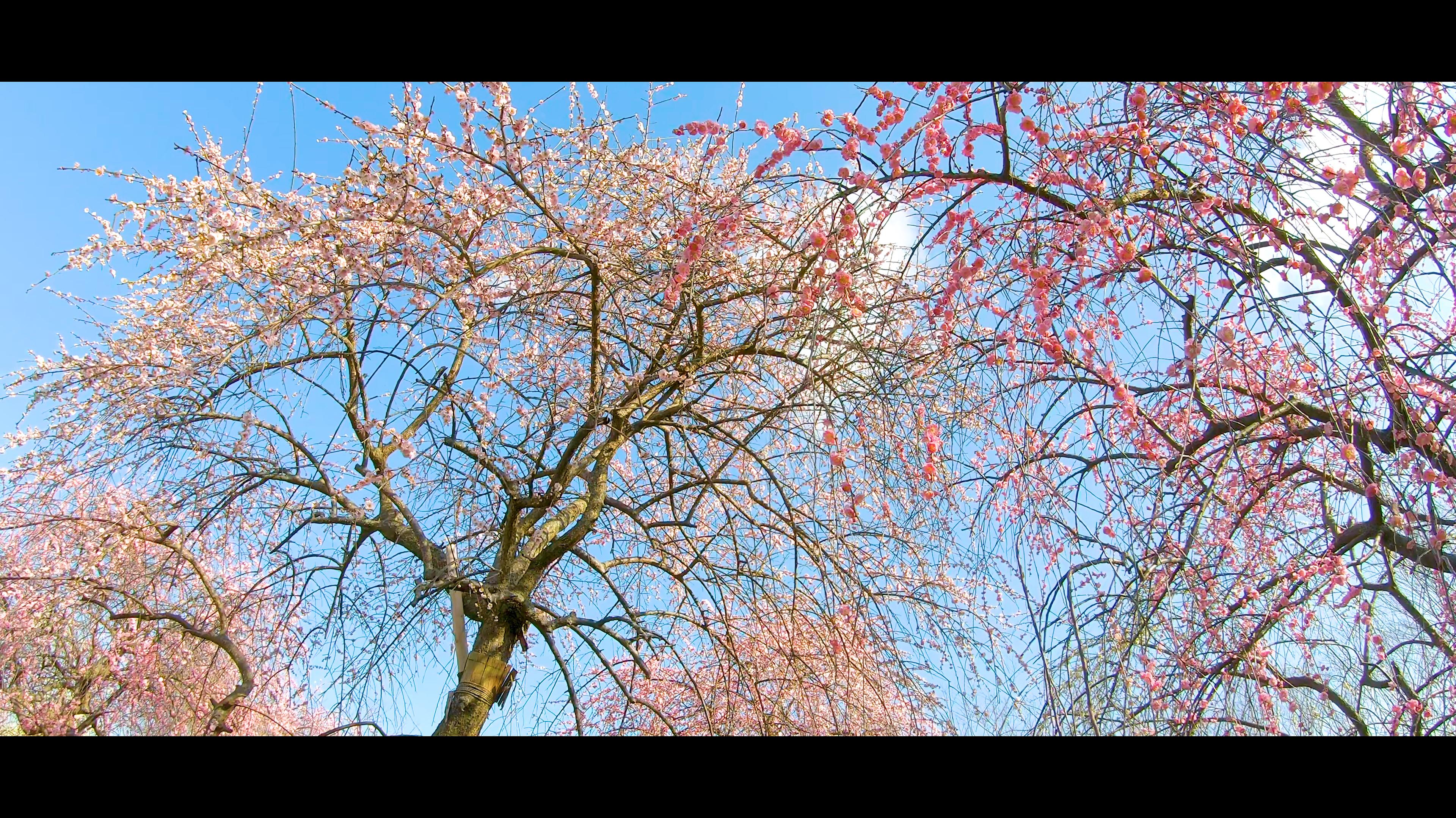 227c5ba73f9cc97764101dcc312c8f84 大阪府 和泉リサイクル環境公園(梅と水仙、菜の花が撮影できる春におすすめの写真スポット。 撮影した写真の紹介、アクセス情報や交通手段・駐車場情報などまとめ)