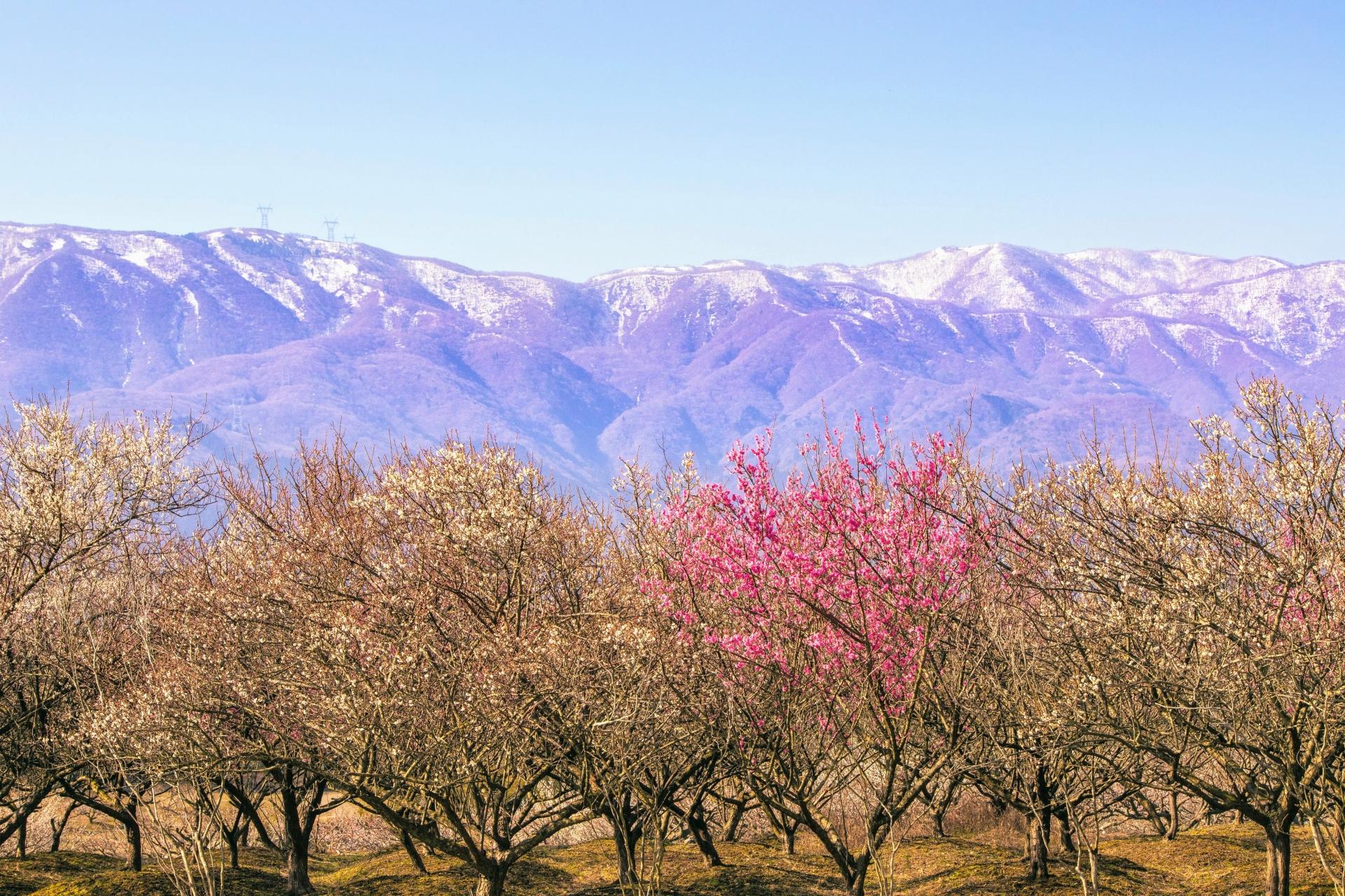2338374_m 三重県 いなべ市農業公園 梅林園(まるで桃源郷のような景色が見れる絶景の梅林写真スポット。 写真の紹介、アクセス情報や交通手段・駐車場情報などまとめ)