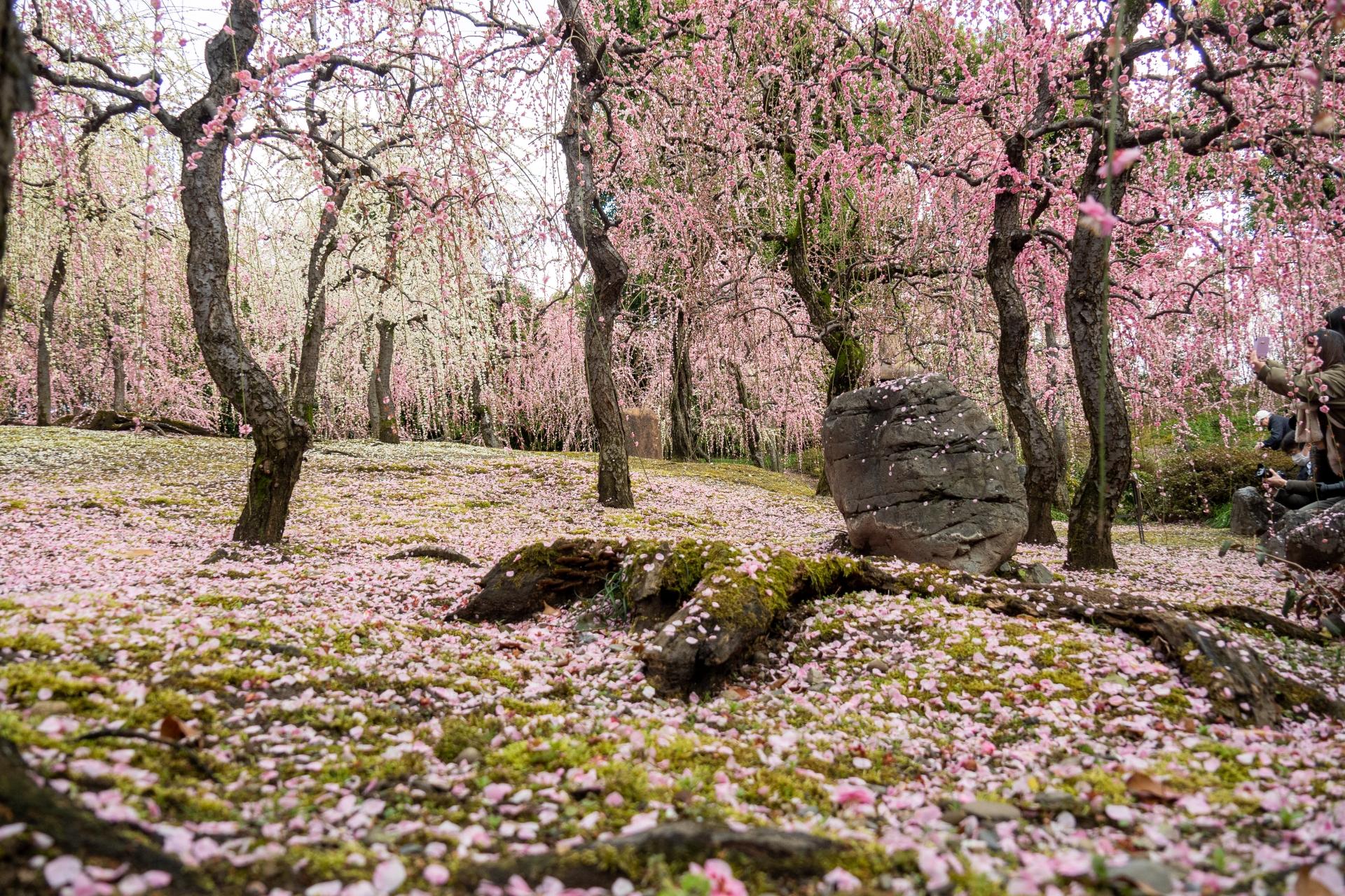 3224206_m 京都 城南宮(庭園に咲く150本の枝垂梅が絶景の写真スポット! 撮影した写真の紹介、アクセス情報や交通手段・駐車場情報などまとめ)