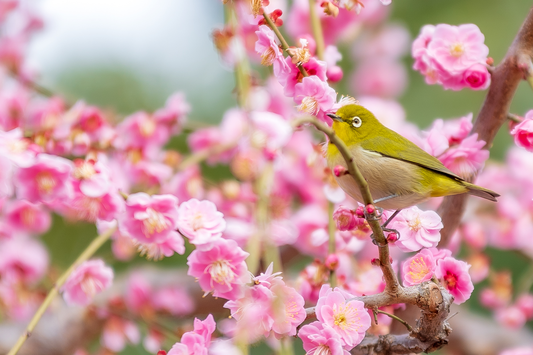 3264149_m 京都 城南宮(庭園に咲く150本の枝垂梅が絶景の写真スポット! 撮影した写真の紹介、アクセス情報や交通手段・駐車場情報などまとめ)