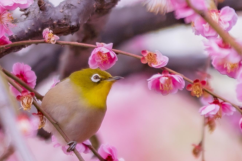 3264178_m 京都 城南宮(庭園に咲く150本の枝垂梅が絶景の写真スポット! 撮影した写真の紹介、アクセス情報や交通手段・駐車場情報などまとめ)