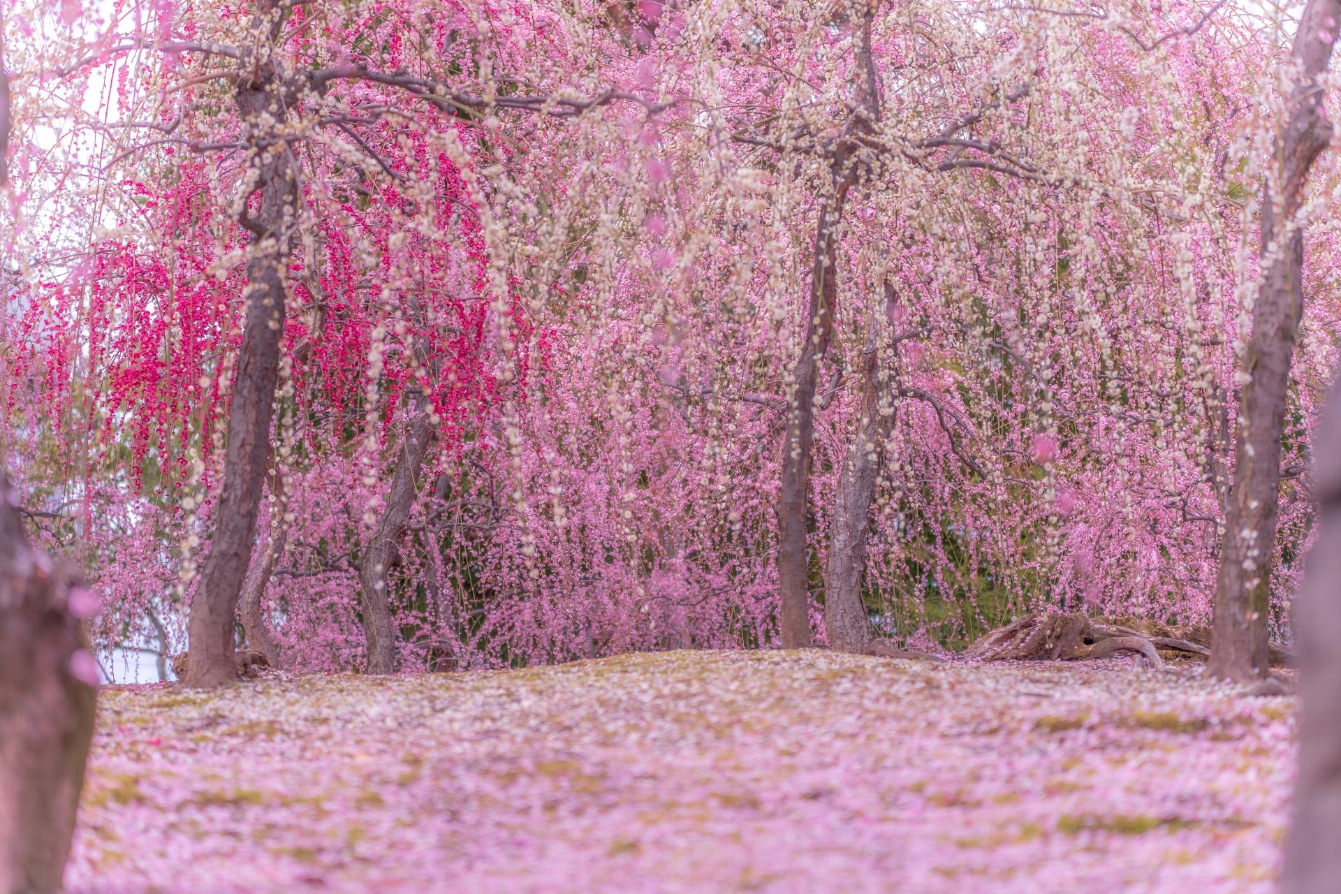 3264186_m 京都 城南宮(庭園に咲く150本の枝垂梅が絶景の写真スポット! 撮影した写真の紹介、アクセス情報や交通手段・駐車場情報などまとめ)