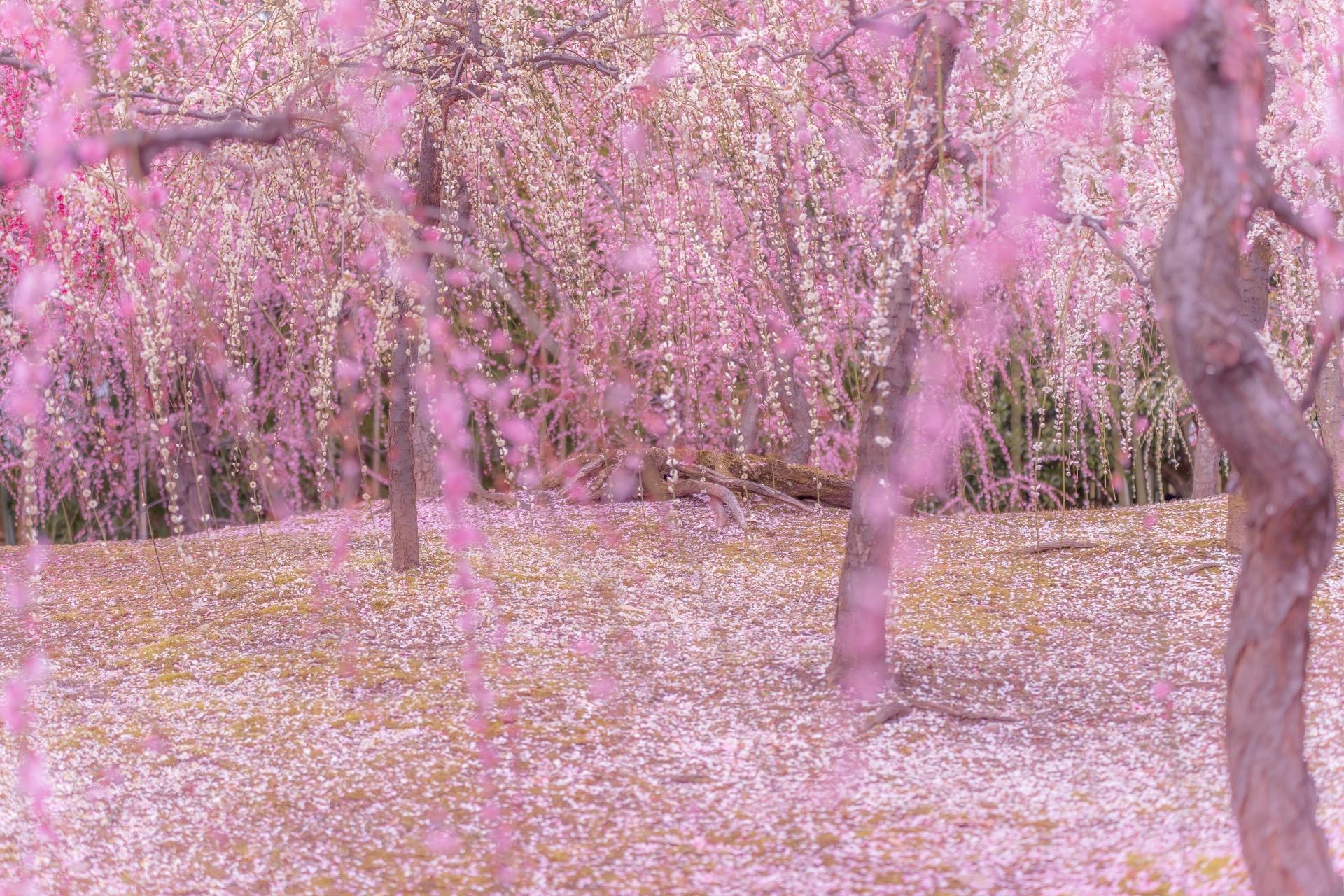 3264189_m 京都 城南宮(庭園に咲く150本の枝垂梅が絶景の写真スポット! 撮影した写真の紹介、アクセス情報や交通手段・駐車場情報などまとめ)