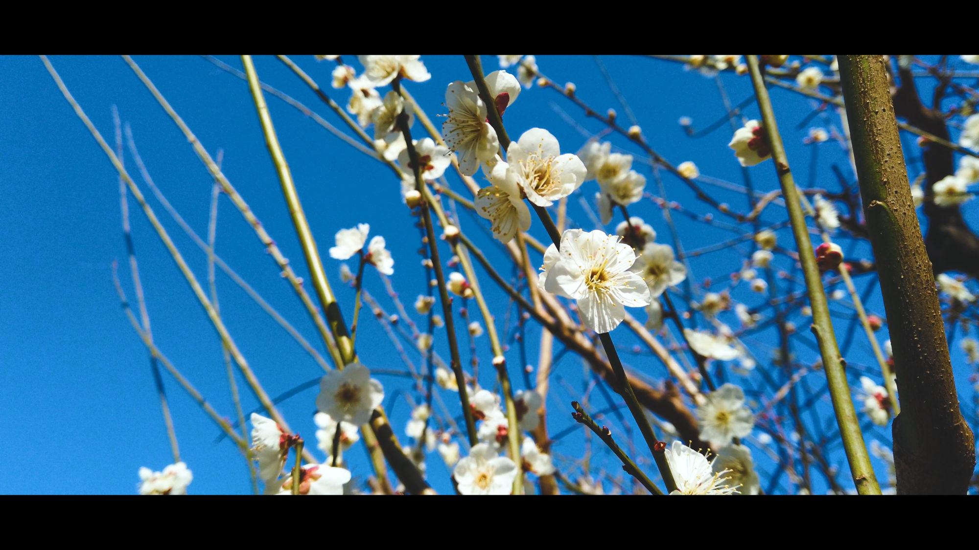 3943a68ee5bcb17d46e15717f00dfd6f-e1581433589645 大阪府 鶴見緑地公園(梅や河津桜に水仙など春の花おすすめの写真スポット。 アクセス情報や交通手段・駐車場情報などまとめ)