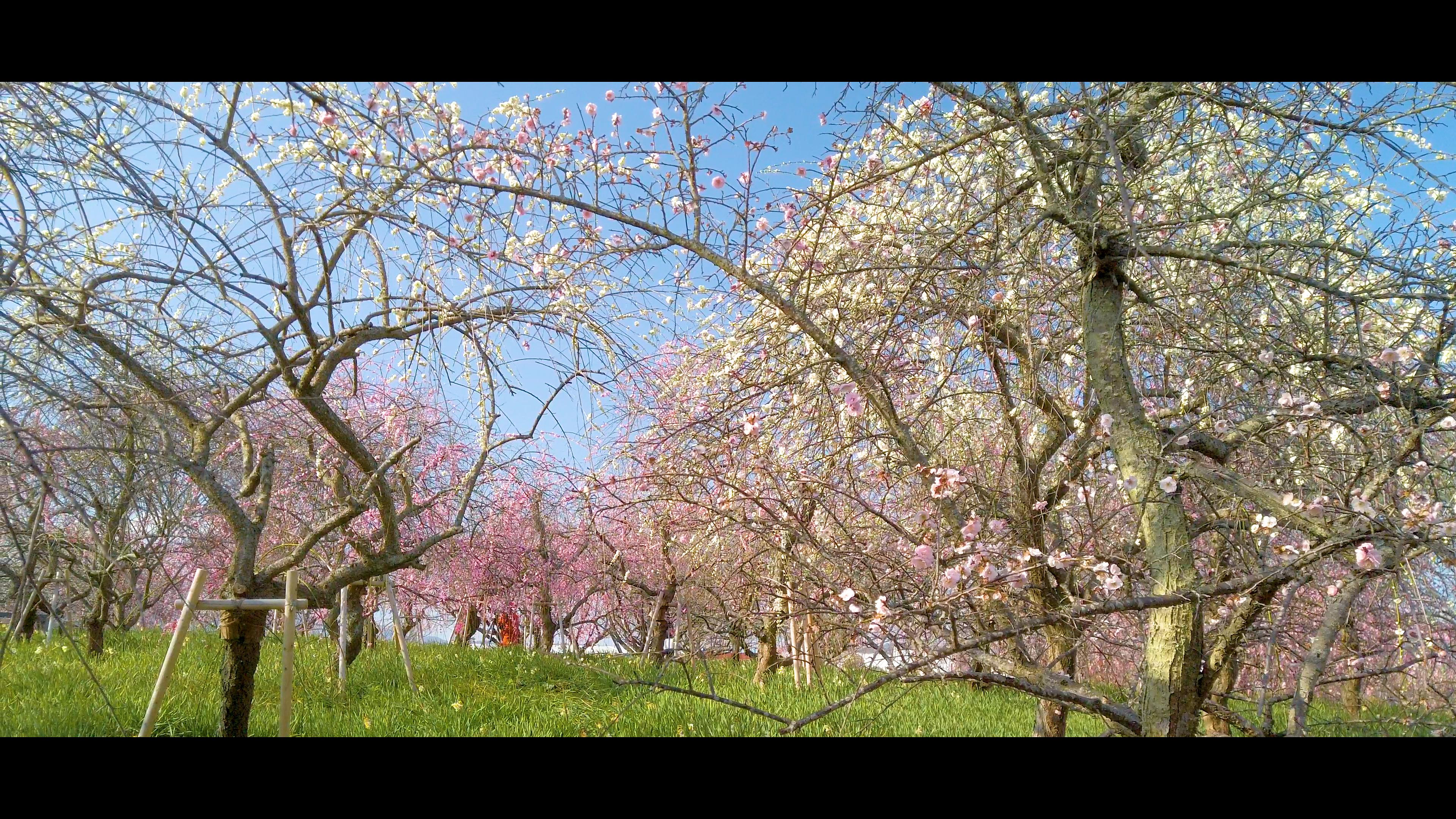 6681f3c960ec95fb9748dcfde46fe649 大阪府 和泉リサイクル環境公園(梅と水仙、菜の花が撮影できる春におすすめの写真スポット。 撮影した写真の紹介、アクセス情報や交通手段・駐車場情報などまとめ)