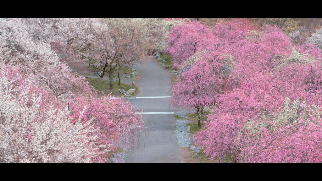 """6781ae6566086259db543830fd8d39dc-1024x576 【2020年】関西の『梅林・梅園』おすすめ写真スポット""""9選""""を紹介! 開花情報や見頃情報などを実際に訪れ撮影した写真とお届けします!"""
