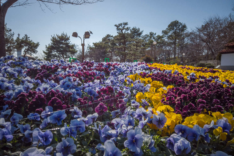 DJI_0498 大阪府 鶴見緑地公園(梅や河津桜に水仙など春の花おすすめの写真スポット。 アクセス情報や交通手段・駐車場情報などまとめ)