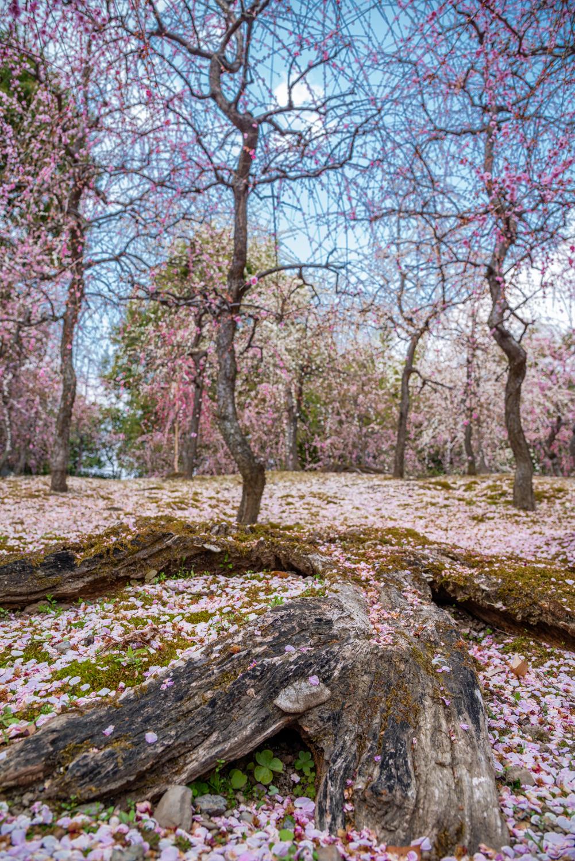 NIKON-CORPORATION_NIKON-D800E_293164210-293264184_2742 京都 城南宮(※2/22現在見頃です!  2020年 春にオススメ。庭園に咲く150本の枝垂梅が絶景の写真スポット。 アクセス情報や交通手段・駐車場情報などまとめ)