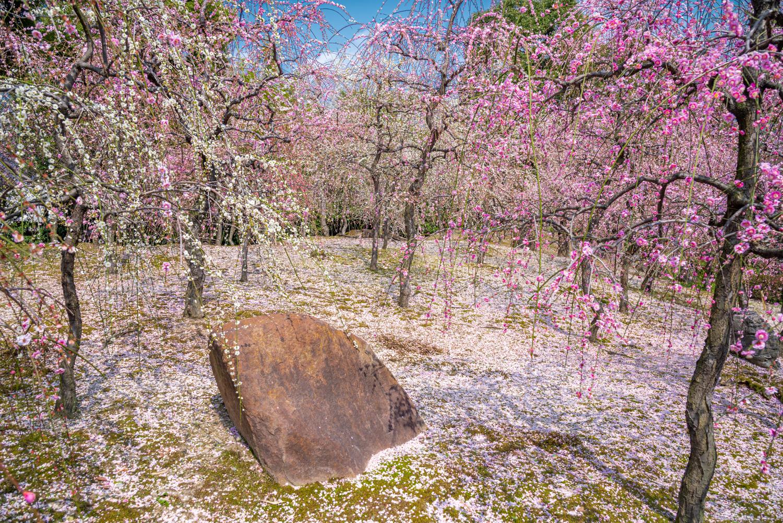 NIKON-CORPORATION_NIKON-D800E_295097202-295208756_2761 京都 城南宮(※2/22現在見頃です!  2020年 春にオススメ。庭園に咲く150本の枝垂梅が絶景の写真スポット。 アクセス情報や交通手段・駐車場情報などまとめ)