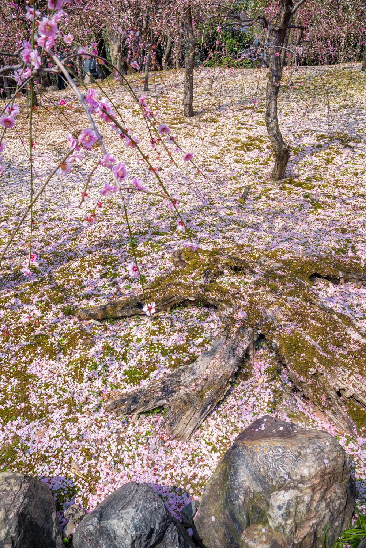 NIKON-CORPORATION_NIKON-D800E_296235058-296344310_2772 京都 城南宮(※2/22現在見頃です!  2020年 春にオススメ。庭園に咲く150本の枝垂梅が絶景の写真スポット。 アクセス情報や交通手段・駐車場情報などまとめ)