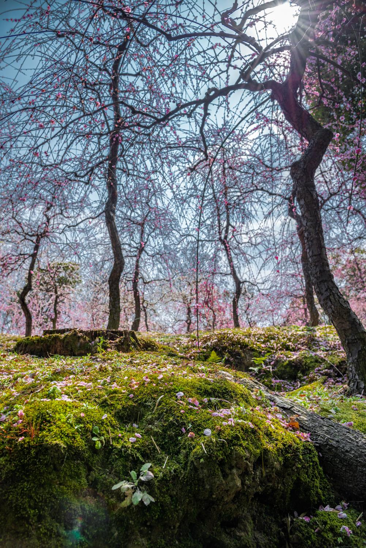 NIKON-CORPORATION_NIKON-D800E_296857906-296954487_2778 京都 城南宮(※2/22現在見頃です!  2020年 春にオススメ。庭園に咲く150本の枝垂梅が絶景の写真スポット。 アクセス情報や交通手段・駐車場情報などまとめ)