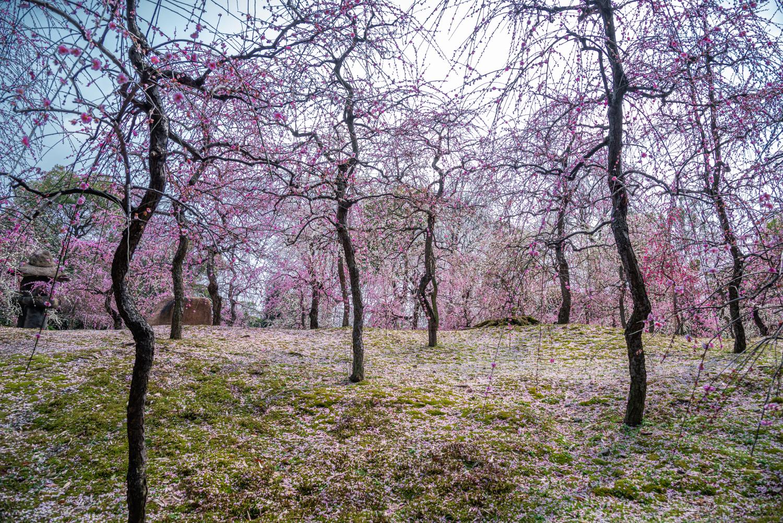 NIKON-CORPORATION_NIKON-D800E_297260018-297370684_2782 京都 城南宮(※2/22現在見頃です!  2020年 春にオススメ。庭園に咲く150本の枝垂梅が絶景の写真スポット。 アクセス情報や交通手段・駐車場情報などまとめ)