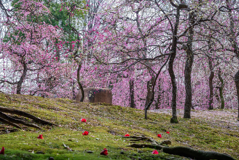 NIKON-CORPORATION_NIKON-D800E_297370738-297472338_2783 京都 城南宮(※2/22現在見頃です!  2020年 春にオススメ。庭園に咲く150本の枝垂梅が絶景の写真スポット。 アクセス情報や交通手段・駐車場情報などまとめ)