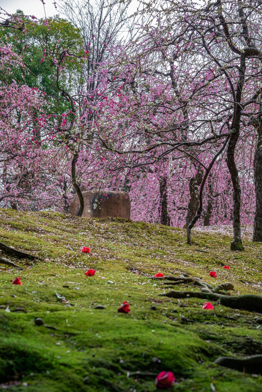 NIKON-CORPORATION_NIKON-D800E_297566322-297663859_2785 京都 城南宮(※2/22現在見頃です!  2020年 春にオススメ。庭園に咲く150本の枝垂梅が絶景の写真スポット。 アクセス情報や交通手段・駐車場情報などまとめ)