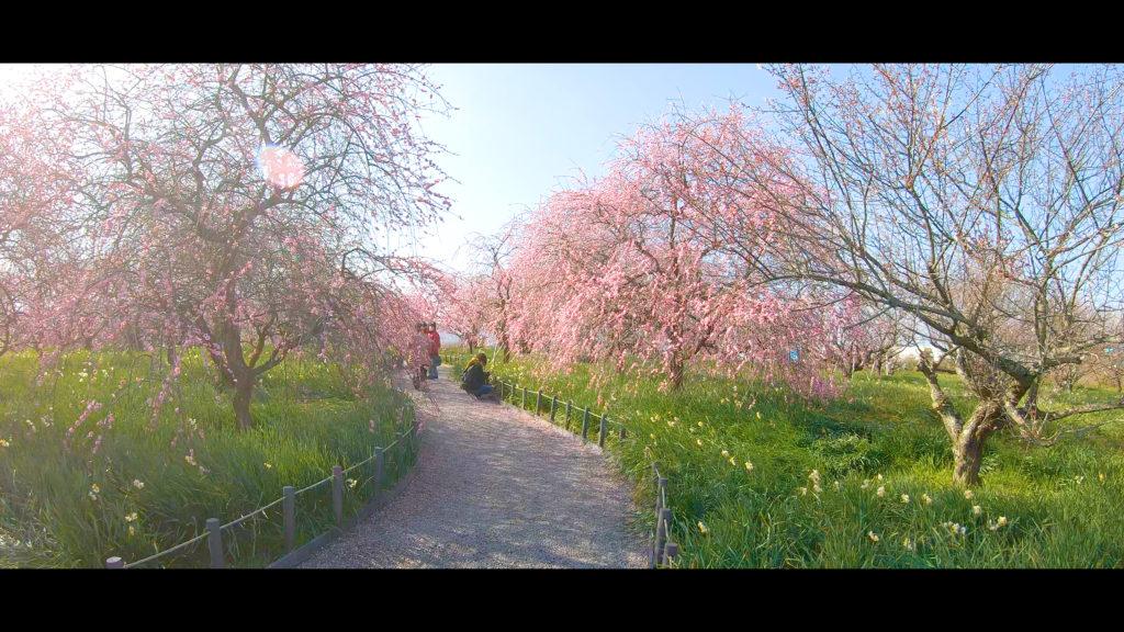 """b1ea9bb7c5b023cdba0b86417532f722-1024x576 【2020年】関西の『梅林・梅園』おすすめ写真スポット""""9選""""を紹介! 開花情報や見頃情報などを実際に訪れ撮影した写真とお届けします!"""
