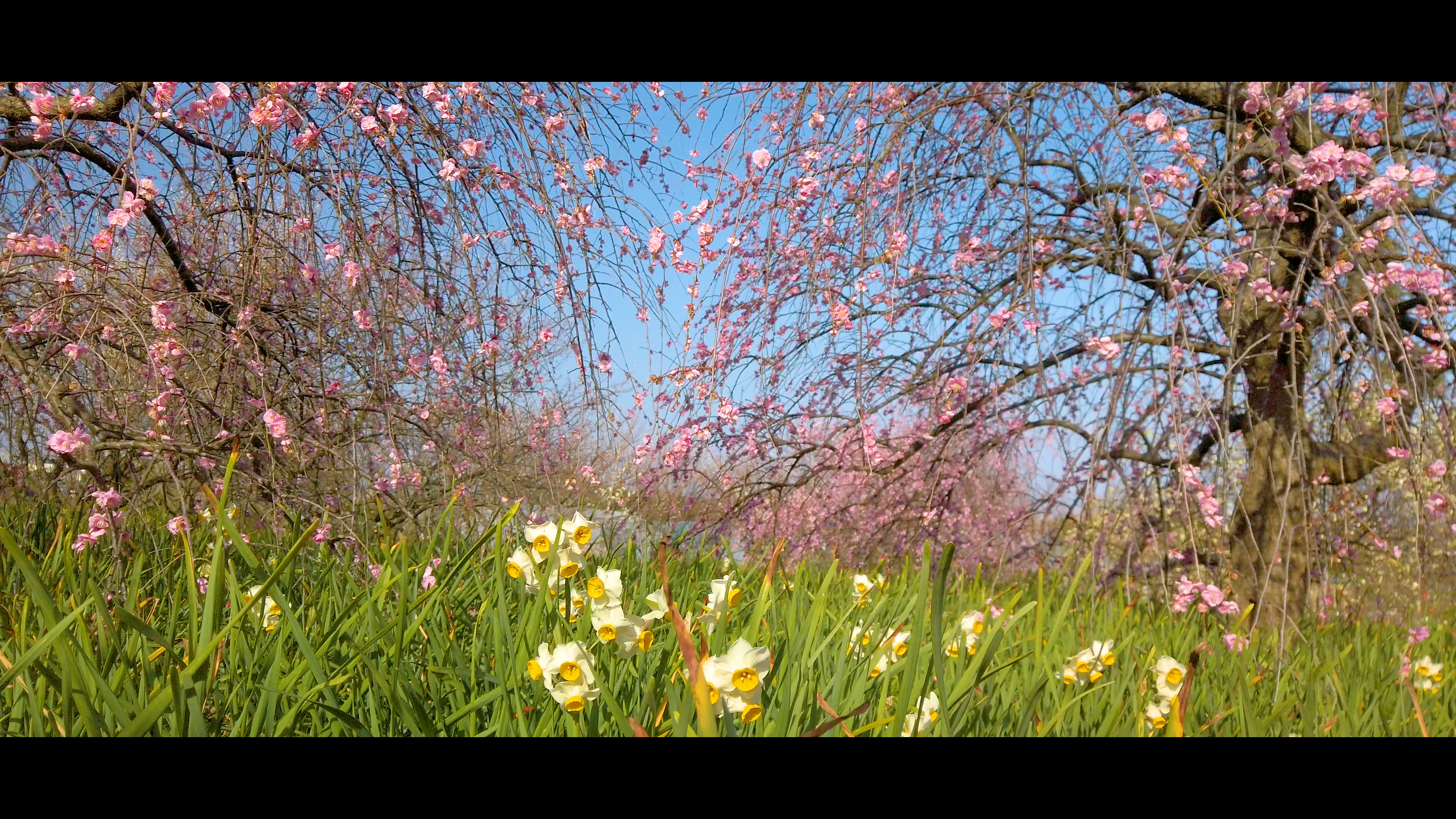 b3d16c24fd5df1fc2e071e1bb363c49b 大阪府 和泉リサイクル環境公園(梅と水仙、菜の花が撮影できる春におすすめの写真スポット。 撮影した写真の紹介、アクセス情報や交通手段・駐車場情報などまとめ)