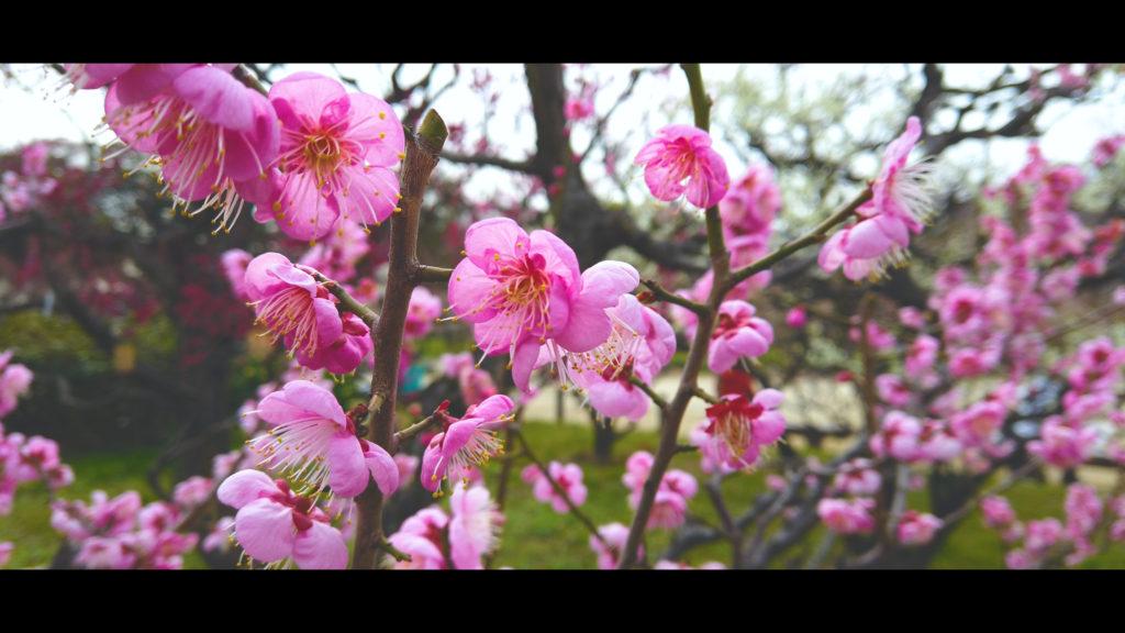 """bce67c1741f0f0cced12d8a71c54323e-1024x576 【2020年】関西の『梅林・梅園』おすすめ写真スポット""""9選""""を紹介! 開花情報や見頃情報などを実際に訪れ撮影した写真とお届けします!"""