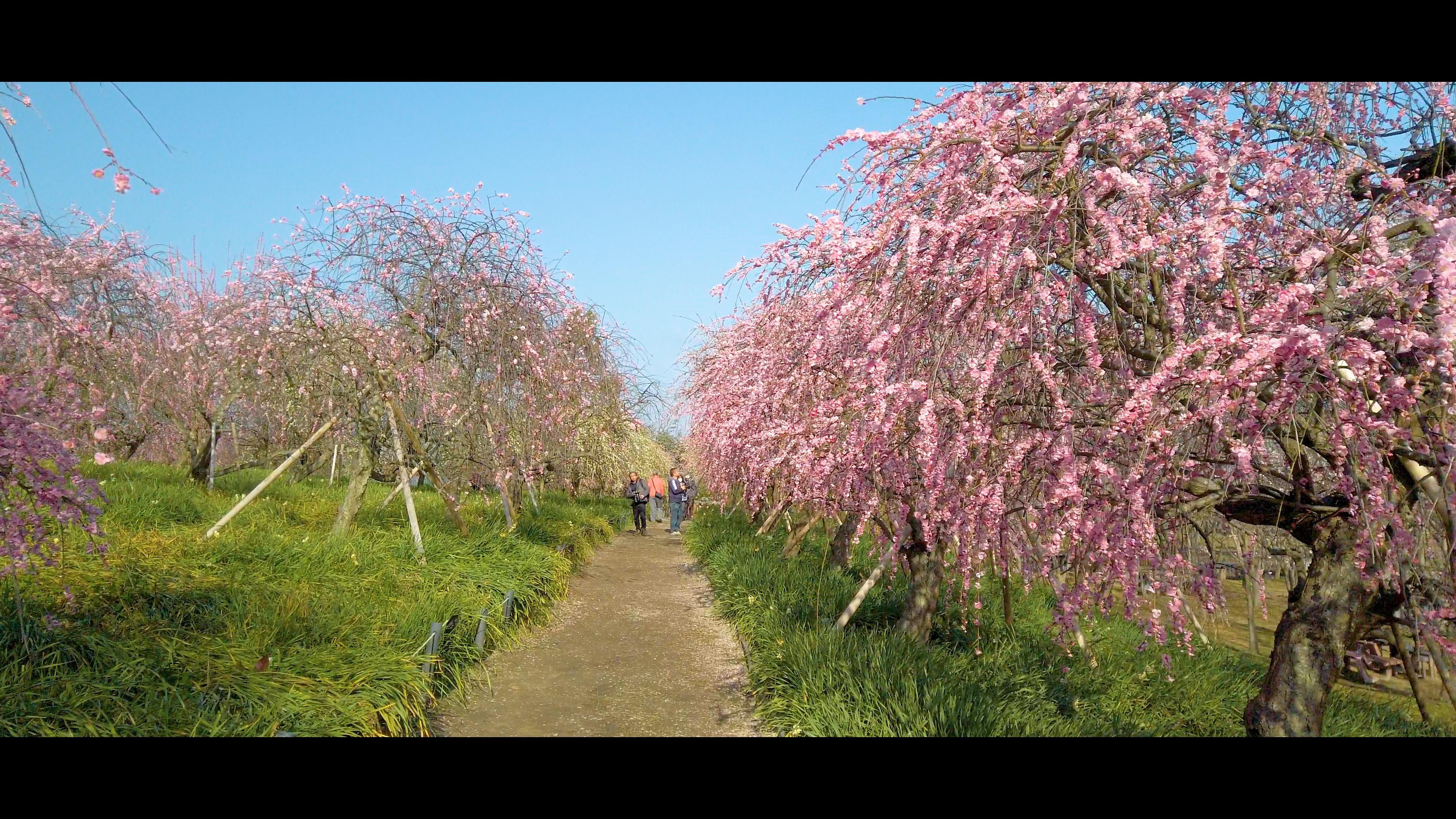 c359ff8133e21710804a2fa49074c2fc 大阪府 和泉リサイクル環境公園(梅と水仙、菜の花が撮影できる春におすすめの写真スポット。 撮影した写真の紹介、アクセス情報や交通手段・駐車場情報などまとめ)