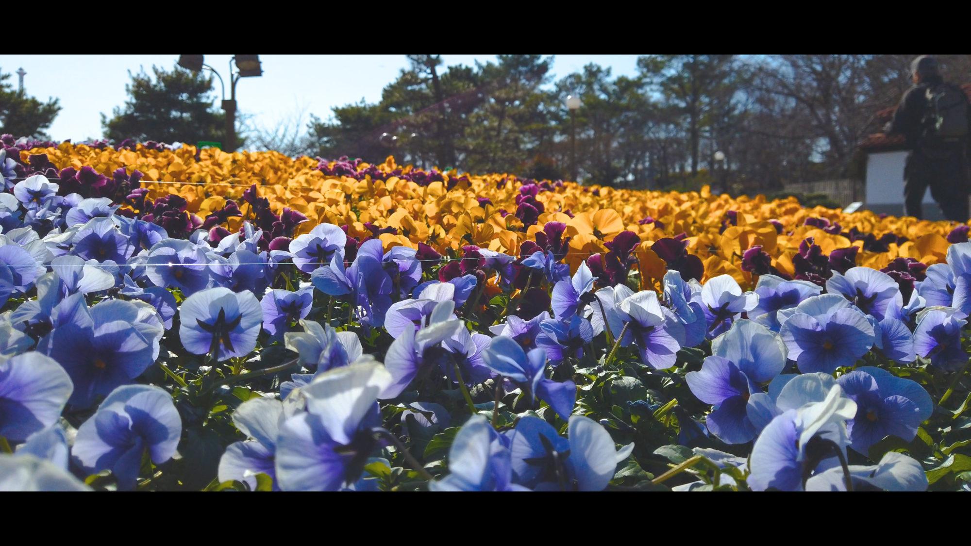 d32b3ddcdf3d1dba7d57ee2bff66e485-e1581433558513 大阪府 鶴見緑地公園(梅や河津桜に水仙など春の花おすすめの写真スポット。 アクセス情報や交通手段・駐車場情報などまとめ)