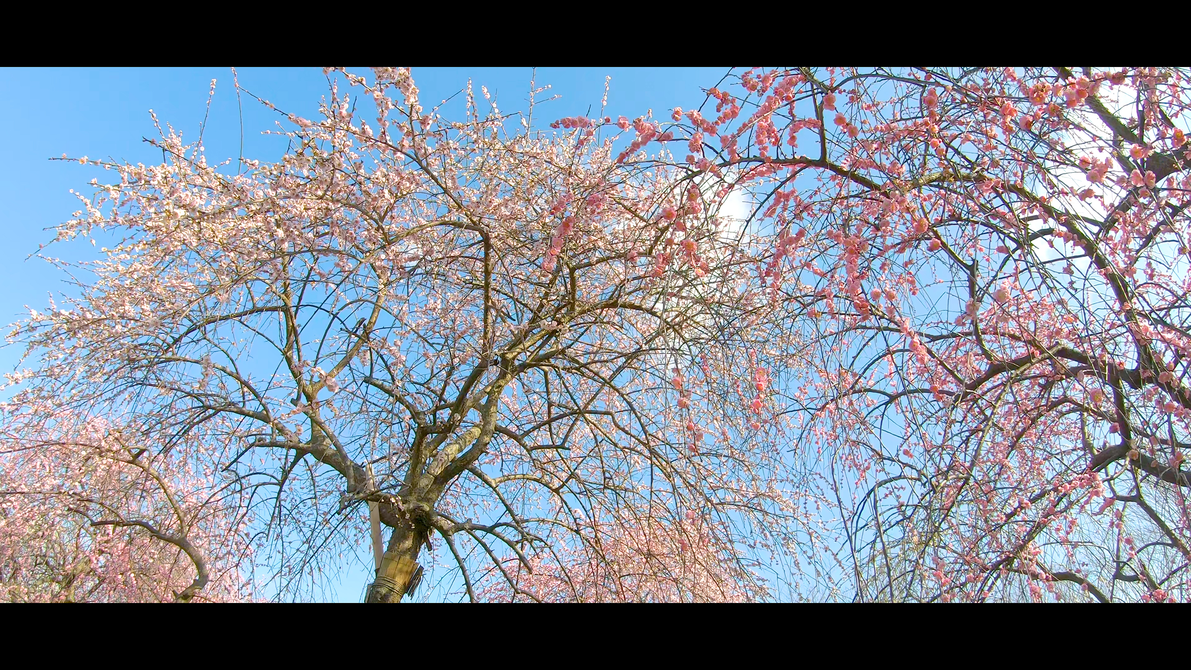 d4aa6768f38beaaa4b681b452b1b1a49 大阪府 和泉リサイクル環境公園(梅と水仙、菜の花が撮影できる春におすすめの写真スポット。 撮影した写真の紹介、アクセス情報や交通手段・駐車場情報などまとめ)