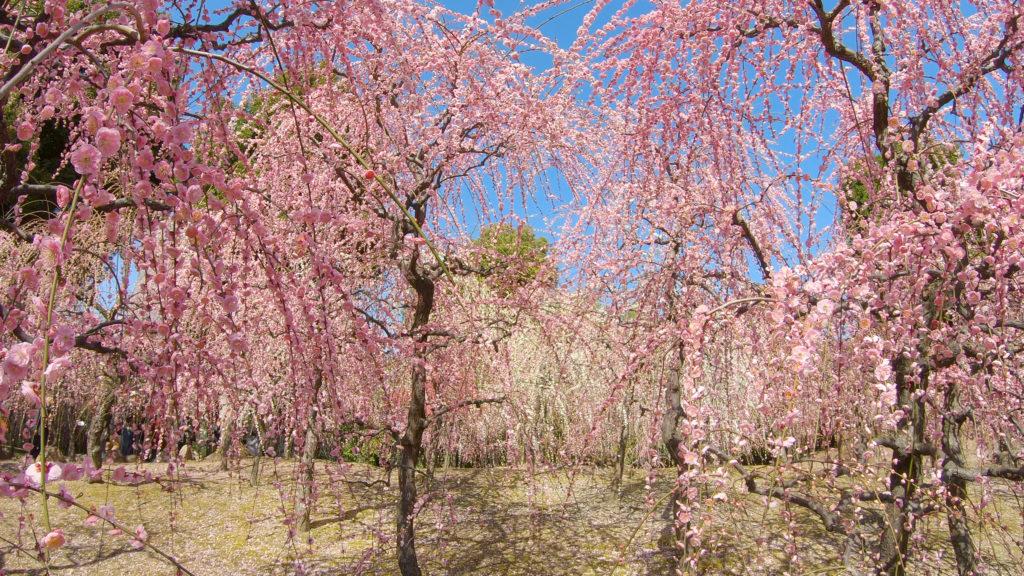 d76054aa0754083851e5cab4cf313261-1024x576 京都 城南宮(※2/22現在見頃です!  2020年 春にオススメ。庭園に咲く150本の枝垂梅が絶景の写真スポット。 アクセス情報や交通手段・駐車場情報などまとめ)