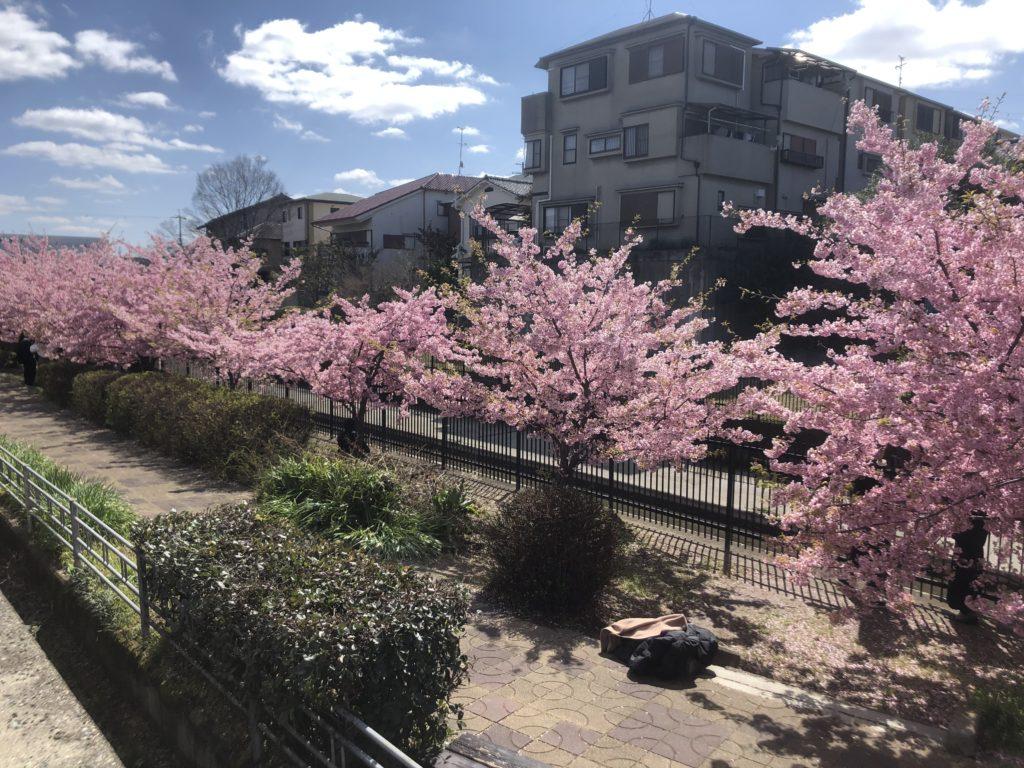 52e83ff475c4548a8ad42065b4f4d1c2-1024x768 京都府 淀水路の河津桜(京都でいち早く桜が満開になるおすすめの河津桜写真スポット! アクセス方法や駐車場、2020年桜の開花状況など)