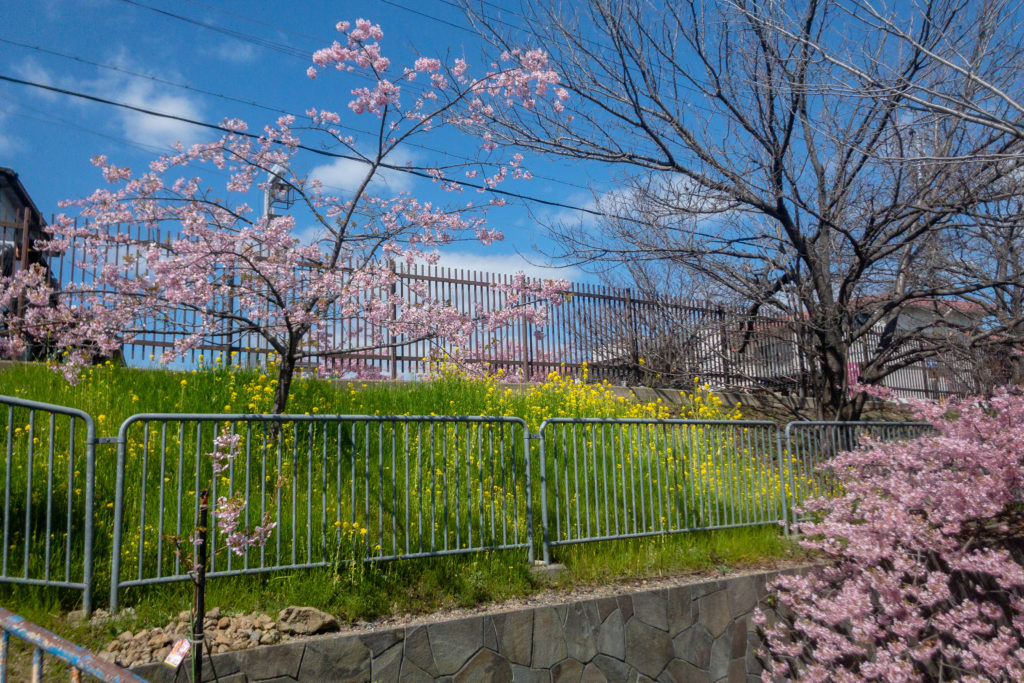 5c932474aee8dc5ddf736941b4eef2c5-1024x683 京都府 淀水路の河津桜(京都でいち早く桜が満開になるおすすめの河津桜写真スポット! アクセス方法や駐車場、2020年桜の開花状況など)