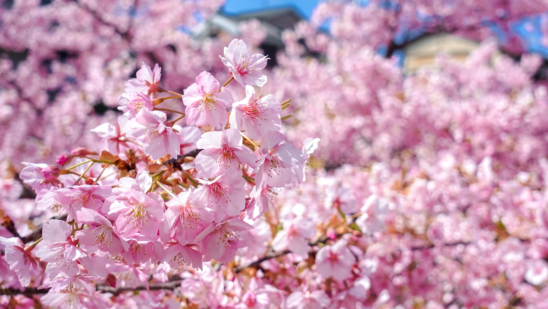 DSC03189 京都府 淀水路の河津桜(京都でいち早く桜が満開になるおすすめの河津桜写真スポット! アクセス方法や駐車場、2020年桜の開花状況など)