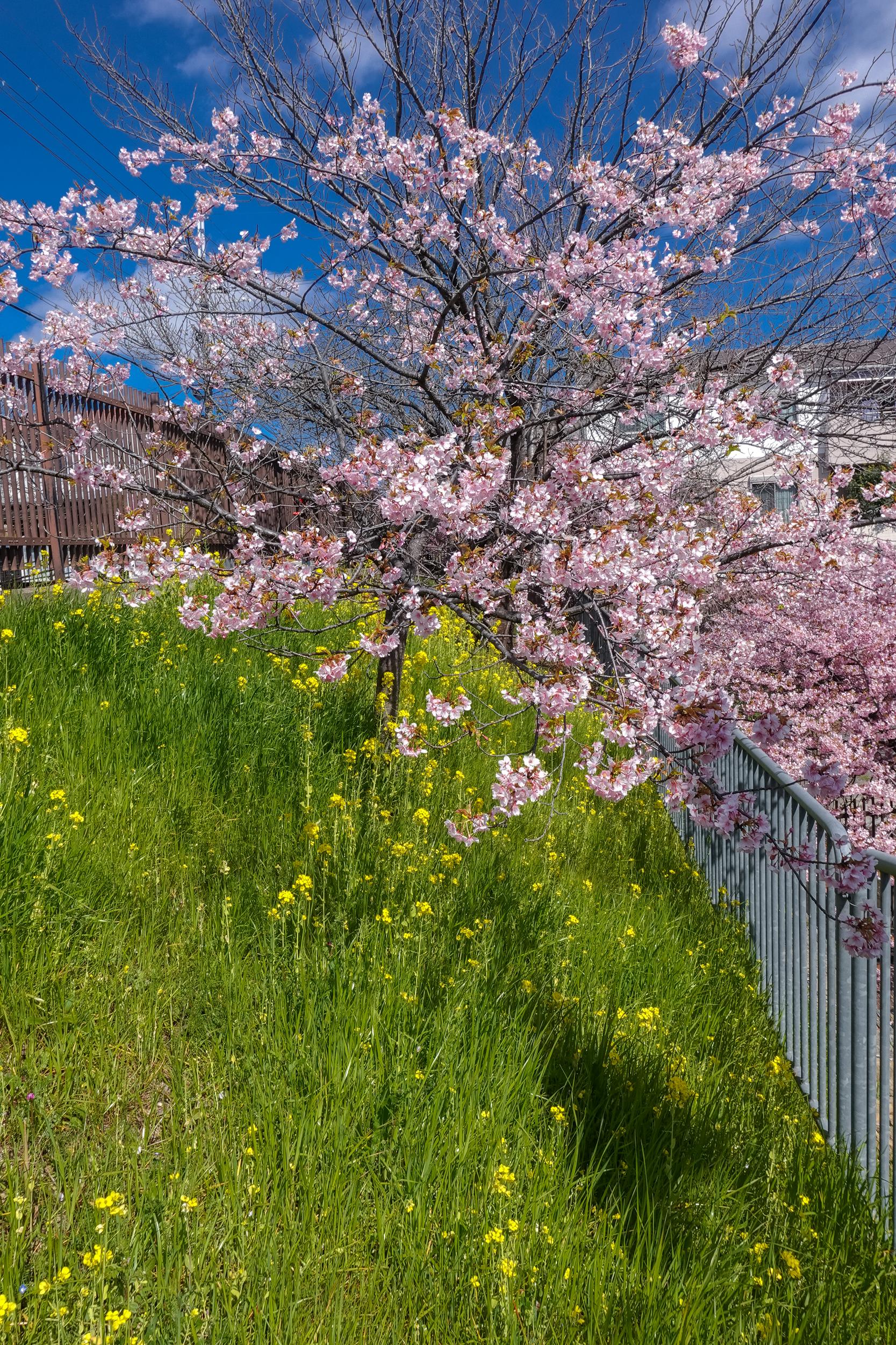 DSC03196 京都府 淀水路の河津桜(京都でいち早く桜が満開になるおすすめの河津桜写真スポット! アクセス方法や駐車場、2020年桜の開花状況など)