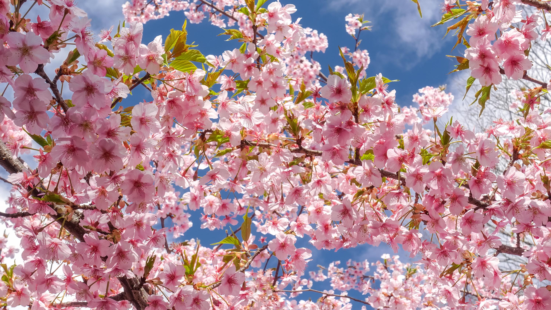 DSC03202 京都府 淀水路の河津桜(京都でいち早く桜が満開になるおすすめの河津桜写真スポット! アクセス方法や駐車場、2020年桜の開花状況など)