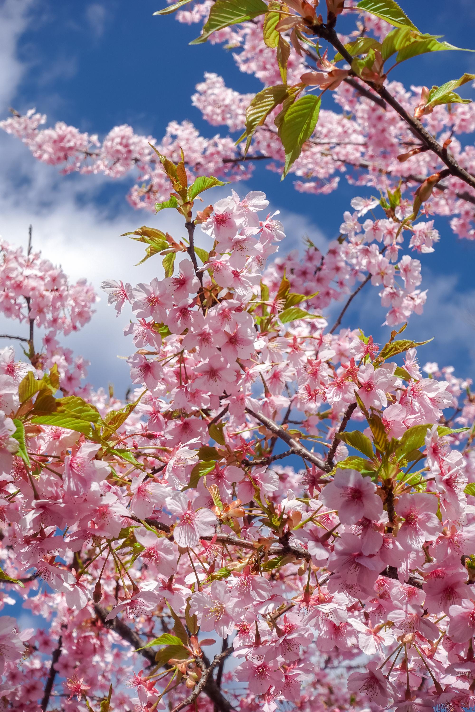 DSC03206 京都府 淀水路の河津桜(京都でいち早く桜が満開になるおすすめの河津桜写真スポット! アクセス方法や駐車場、2020年桜の開花状況など)
