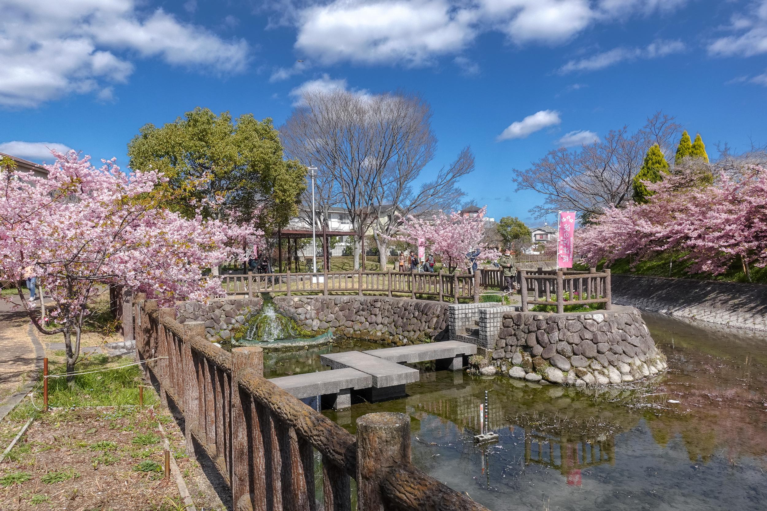 DSC03216 京都府 淀水路の河津桜(京都でいち早く桜が満開になるおすすめの河津桜写真スポット! アクセス方法や駐車場、2020年桜の開花状況など)