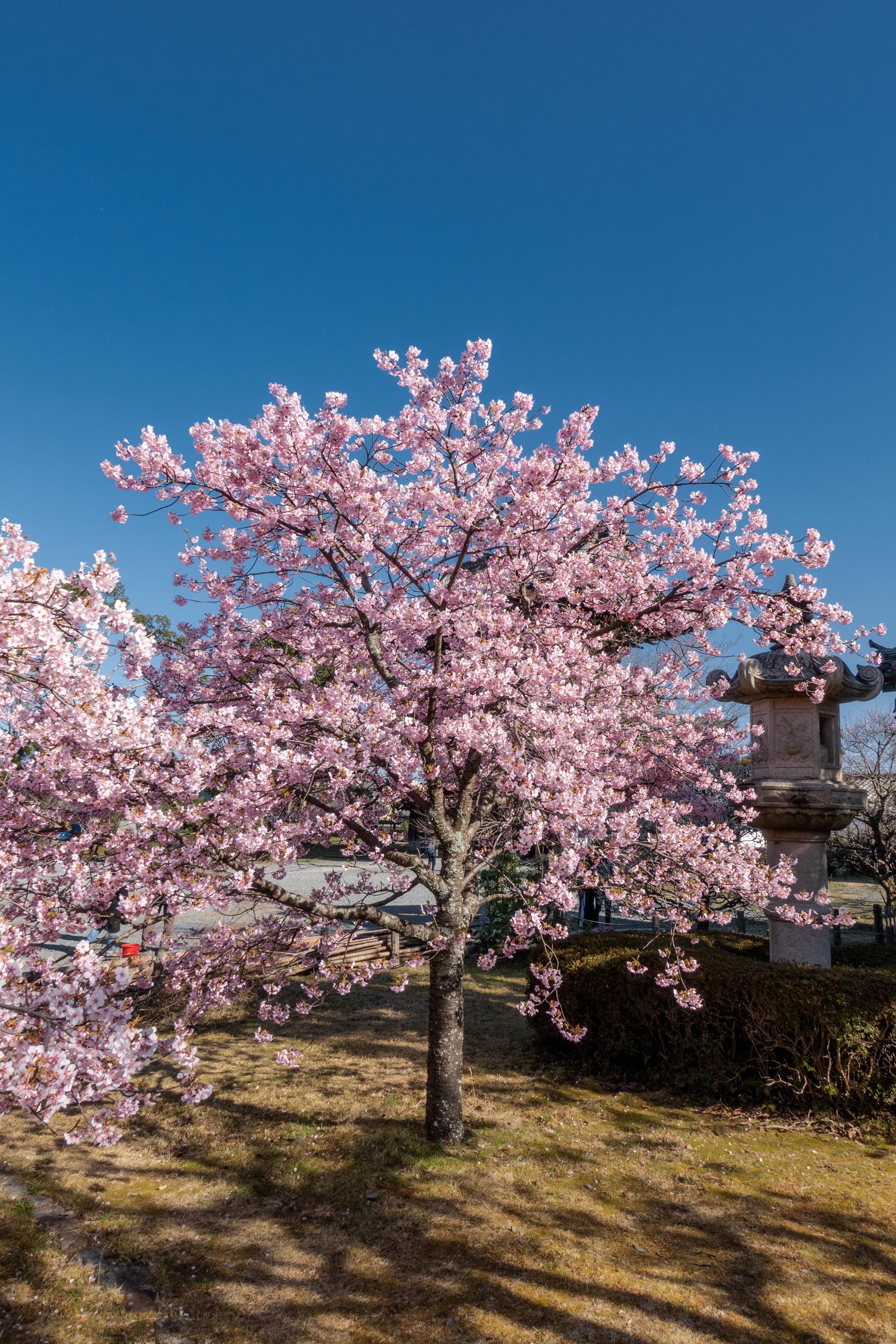 DSC03238 京都府 清凉寺(多宝塔と河津桜の美しい景色! 京都の春におすすめ桜写真スポット!撮影した写真の紹介、 アクセス方法や駐車場、桜の開花状況など)