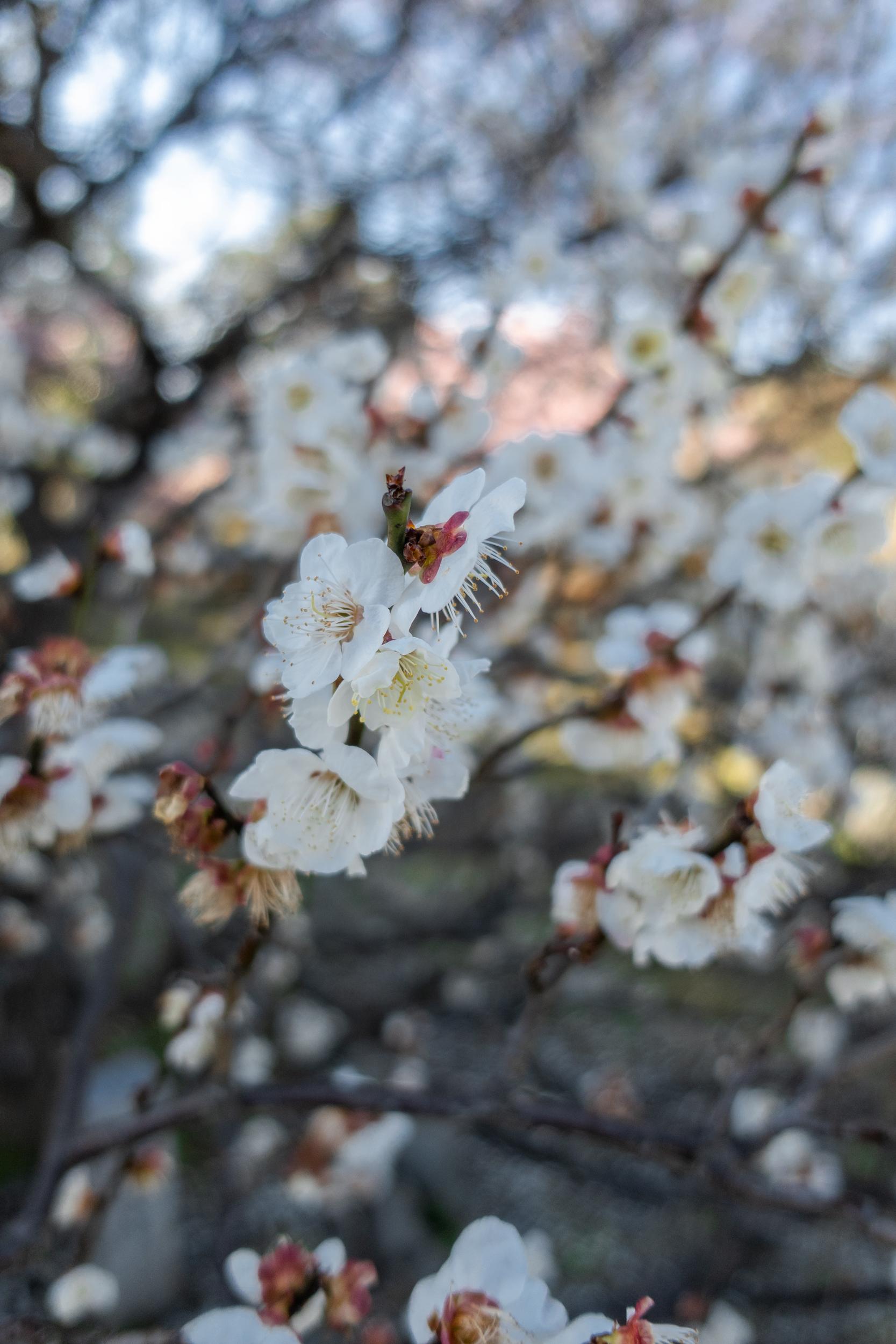 DSC03263 京都府 清凉寺(多宝塔と河津桜の美しい景色! 京都の春におすすめ桜写真スポット!撮影した写真の紹介、 アクセス方法や駐車場、桜の開花状況など)